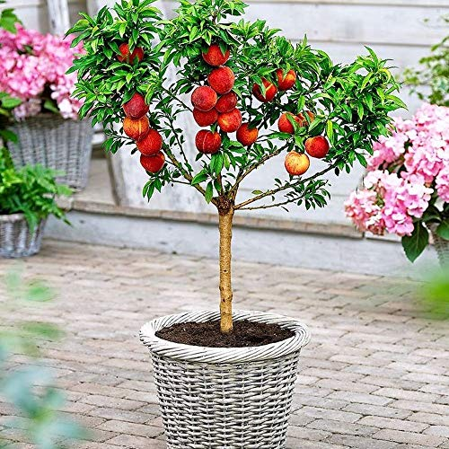 Dwarf Bonanza Peach Mini Patio Fruit Tree 4 Seeds ()