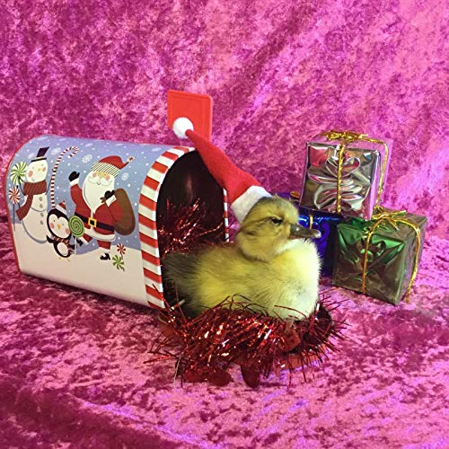 Taxidermy Real Duck Duckling Christmas Present Mailbox Gift