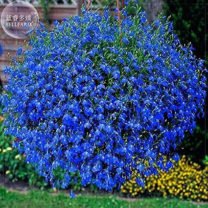 Amazoncom 2018 Hot Sale Davitu Lobelia Blue Hanging Bonsai Flower