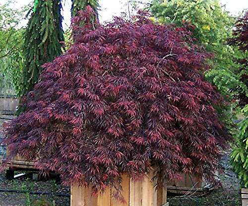 Red Weeping Lace Leaf Japanese Maple - Inaba Shidare- 2 Year Live (Pruning Japanese Maple Trees)