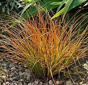 Carex testacea \'Praerie Fire\' 1 Liter (Ziergras/Gräser/Stauden ...