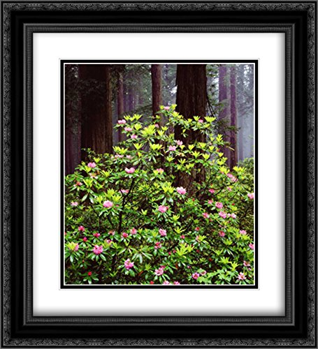 CA, Old-Growth Redwood Tree with Rhododendron 2X Matted 20x22 Black Ornate Framed Art Print by Talbot Frank, - Old Redwood Growth