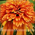 Very Rare Orange Marmalade Echinacea Perennial Coneflower Seeds, Professional Pack, 200 Seeds / Pack, Beautiful Deer Resistant