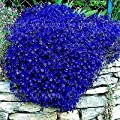 100 pcs/Bag Blue Rock Cress Seeds Perennial Ground Cover Flower, Natural Growth for Home Garden