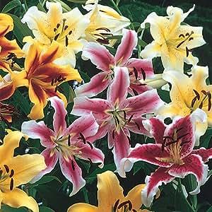 Hybrid Lily Tree Mix