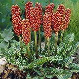 Arum of Italy 10 Seeds - Arum italicum - Enticing!