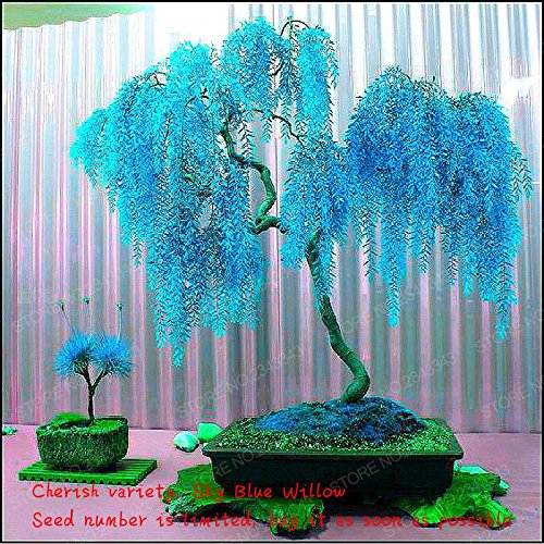 Sale 50pcs Rare Sky Blue Willow Seeds Chinese Perennial Flower Indoor Plants Seed Evergreen Bonsai Tree For Garden Decoration - Blue Bonsai