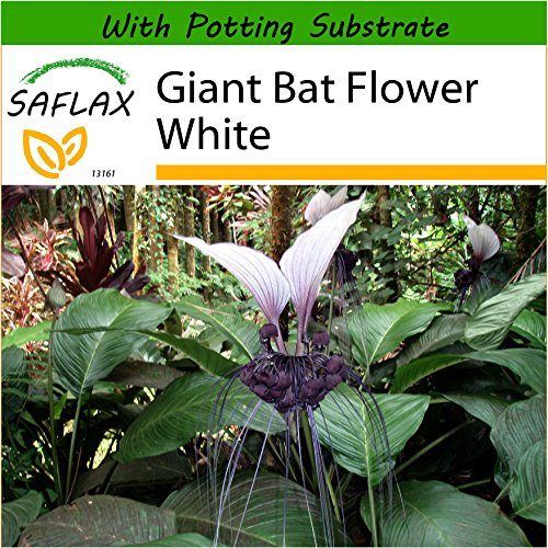 SAFLAX - Giant Bat Flower White - 10 seeds - With soil - Tacca nevia - Plant Bat