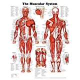 The Muscular System Anatomical Chart Poster Print Collections Poster Print, 20x26