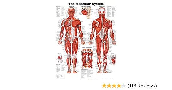 Amazon the muscular system anatomical chart poster print amazon the muscular system anatomical chart poster print laminated poster 20 x 26in home kitchen ccuart Images