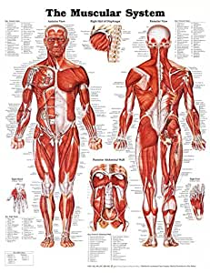 The Muscular System Anatomical Chart Poster Print Laminated Poster 20 x 26in