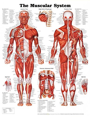 Skeletal Anatomical System Chart (The Muscular System Anatomical Chart Poster Print Laminated Poster 20 x 26in)