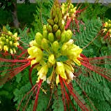 Caesalpinia Gilliesii Yellow Bird of Paradise Seeds