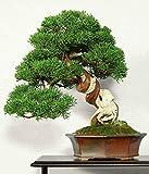 CHINESE JUNIPER - 50 seeds - Juniperus chinensis BONSAI