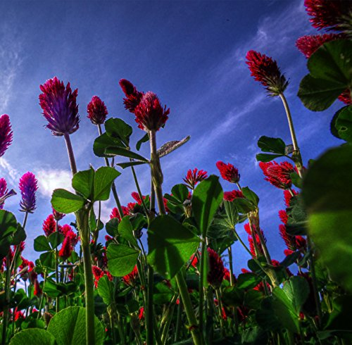 The Earth @ the Best Pasture Red Clover Plant Seeds 0.1 Pounds