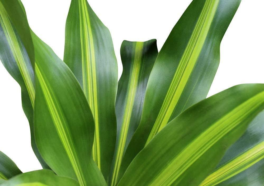 6 Pot Top Indoor Air Purifier American Plant Exchange Mass Cane Dracena Massangeana Live Plant