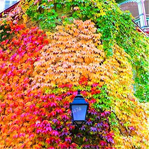100 pcs/Bag Mixed Colors Boston Ivy Seeds Creepers Green Boston Ivy Grass Seeds Parthenocissus Tricuspidata Seed for Home Garden(Small