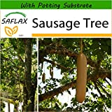 SAFLAX - Sausage Tree - 10 seeds - With soil - Kigelia pinnata var. africana