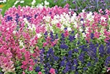 Salvia Tricolor Mix Flower Seeds from Ukraine