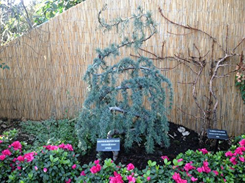 Weeping Blue Atlas Cedar 3 - Year Live Tree by Japanese Maples and Evergreens (Image #2)