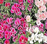 4000 x CLARKIA GODETIA Colorful Tall Mix Flower Seeds red, Pink, Purple, White - ONLY 25-35 Days - by MySeeds.Co