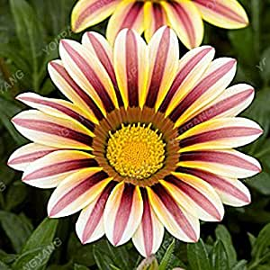 100Pcs Gazania Rigens Flowers Seeds Rare Beautiful Chrysanthemum Bonsai For Garden Buliding Semillas Gazania Splendens Hot Sale Chrysanthemum seeds