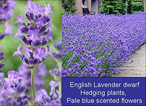 6x Lavendula English dwarf Lavender Fragrant foliage and blue flowers Whin Hill Nurseries