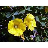 Lucky Gold Shamrock 50 Seeds -Oxalis valdiviensis- RARE