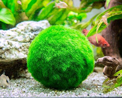 Aquatic Arts 10 Marimo Moss Balls - Aquarium Ball Set, 1 Inch Each. Unique Decor for Aquariums and Glass Jar Terrarium Kits. Natural Habitat/for Live Fish, Pet Shrimp, Sea Monkeys, and more by