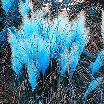 YENJO Seeds-Colorful Pampas Grass Seeds Home Garden DIY Plants Easy Grow Seeds: Clothing