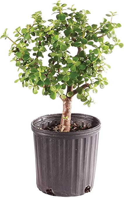 Amazon Com Brussel S Bonsai Live Dwarf Jade Indoor Bonsai Tree 6 Years Old 8 To 12 Tall With Plastic Grower Pot Small Garden Outdoor