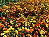 Anuual Tagetes Patula (French Marigold) Low-growing Plant Mixed Colors 300 Seeds