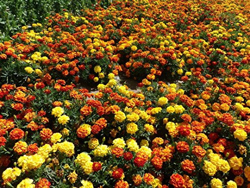 anuual-tagetes-patula-french-marigold-low-growing-plant-mixed-colors-300-seeds