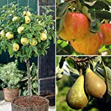 Dwarf Patio Fruit Tree Apple Pear Small Garden Trees, Easy to Grow Miniature Orchard, Produce Gala, Golden Delicious & Mini Doyenne Du Comice, 9cm Pot x 3 by Thompson & Morgan