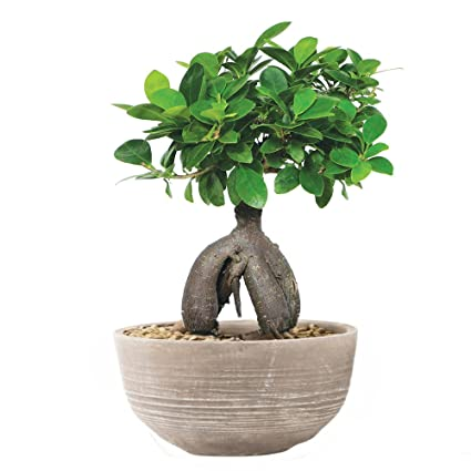 The Bonsai Plants Beautiful Live Grafted Ficus Bonsai Tree 4 Year Old