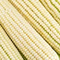 Silver King Hybrid Corn Garden Seeds - Non-GMO Vegetable Gardening Seeds - White Sweet Corn (SE)