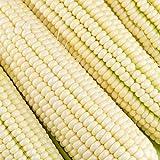 Silver King Hybrid Corn Garden Seeds - 5 Lb - Non-GMO Vegetable Gardening Seeds - White Sweet Corn (SE)