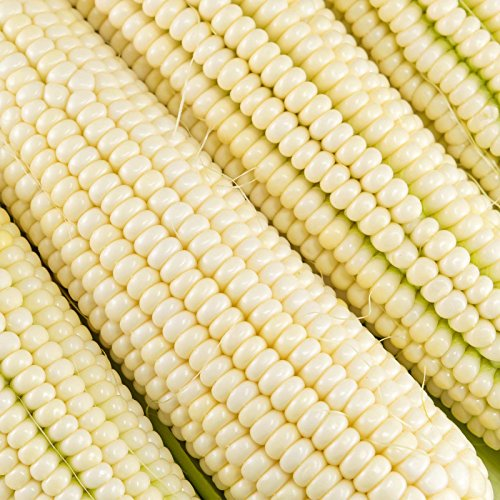 Silver King Hybrid Corn Garden Seeds - 1 Lb - Non-GMO Vegetable Gardening Seeds - White Sweet Corn (SE) - Micro Greens Shoots
