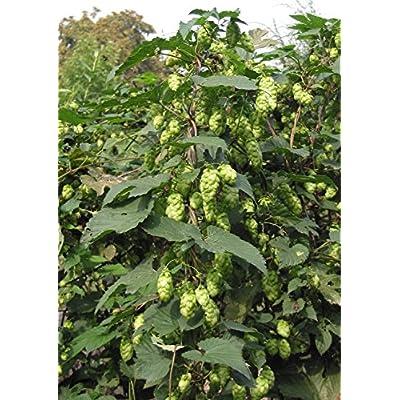 15 Seeds Humulus lupulus (Hops) Vine Plant : Garden & Outdoor