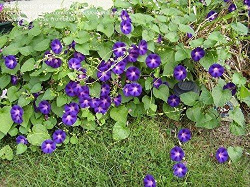 Non GMO Bulk Morning Glory, Grandpa Ott Flower Seeds (10 Lbs) by Dirt Goddess Super Seeds (Image #2)