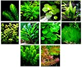 40 Live Aquarium Plants/11 Different Kinds - Java Fern, Hygrophila, Rotala, Ammania, Cryptocoryne, Bacopa, Cabomba and more! Great plant sampler for 25-40 gal. tanks!