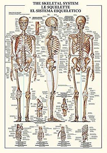 El sistema óseo Diseño Gráfico Educación humana Anatomía hueso ...
