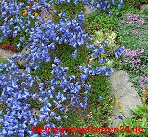 10 getopfte Pflanzen blau blühend in Gärtnerqualität, mindestens 3 Sorten, blauer Garten