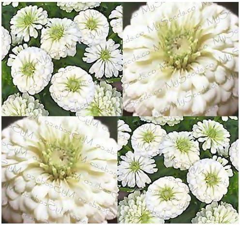 Zinnia Seeds Elegans Polar Bear Flower Seeds