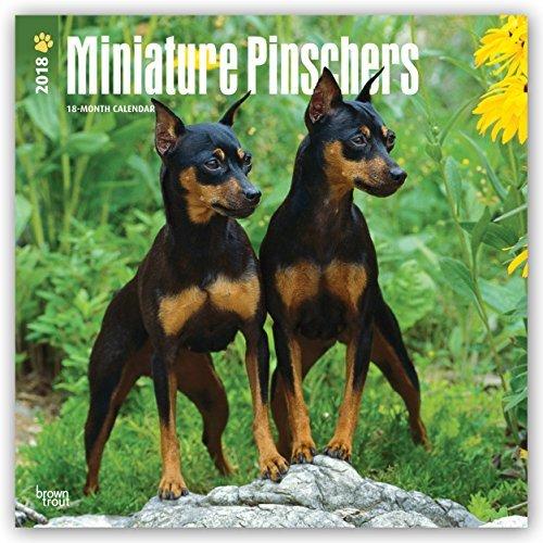 Pinscher Miniature (Miniature Pinschers 2018 12 x 12 Inch Monthly Square Wall Calendar, Animals Dog Breeds)
