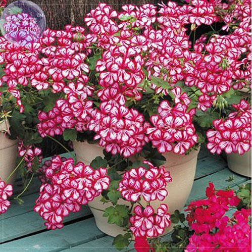 New Geranium 'Dragon Beads' Dark Red White Flower (Pelargonium) 10+ Seeds
