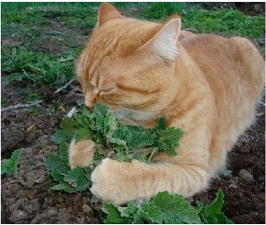 50 unids/set gato menta plantas aromáticas Catnip, semillas de hierba gatera, semillas semillas de hierbas aromáticas para el jardín de su casa: Amazon.es: Jardín