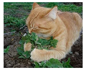 50 unids/set gato menta plantas aromáticas Catnip, semillas de hierba gatera, semillas semillas de hierbas aromáticas para el jardín de su casa: Amazon.es: ...