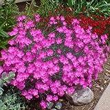Dianthus Cheddar Pink Flower Seeds (Dianthus Gratianopolitanus) 50+Seeds