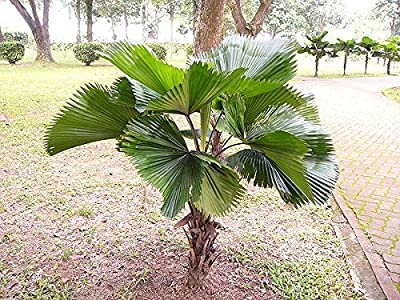 10 Ruffled Fan Palm Tree Seeds - Licuala Grandis by Seeds and Things